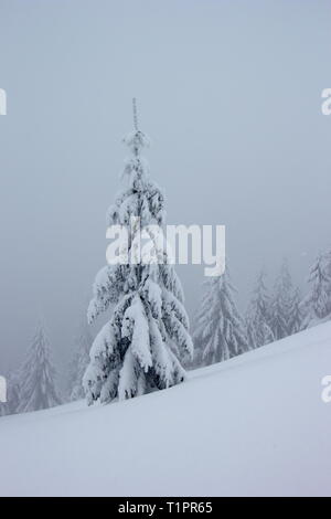 old snowy spruces on misty winter day - Stock Photo