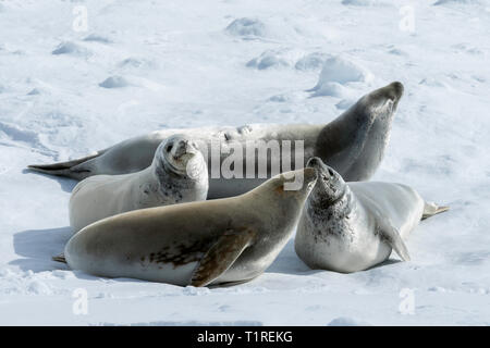 Crabeater seals (Lobodon carcinophaga), Lemaire Channel, Antarctica - Stock Photo
