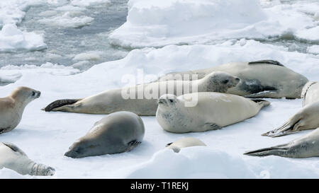 Crabeater seals (Lobodon carcinophaga), on sea ice, Lemaire Channel, Antarctica - Stock Photo