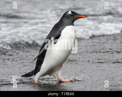 Gentoo penguin (Pygoscelis papua) walking on beach, Shingle Cove, Coronation Island, South Orkney Islands, Antarctica