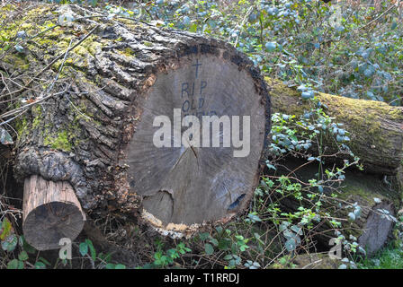 Falling tree injures man on Haughmond Hill near Shrewsbury - Stock Photo