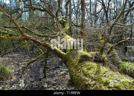 An old  fallen tree in a swamp area in woodland covered in moss - Stock Photo