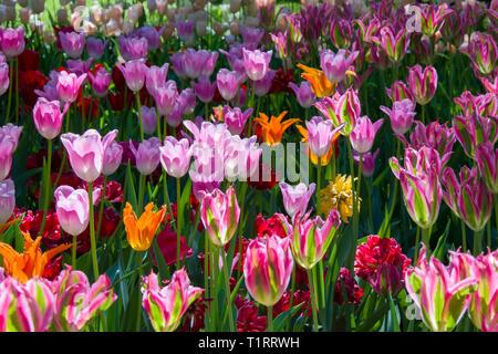 Many bright multi-colored tulips