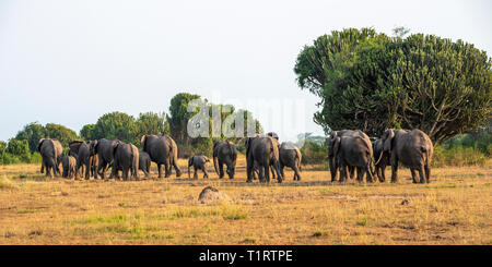 Herd of African elephants (Loxodonta Africana) on the move in Queen Elizabeth National Park, South West Uganda, East Africa - Stock Photo