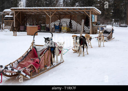 Dog sledding near Whitehorse, Yukon, Canada. A team of dogs is harnessed and ready to take to the trail. - Stock Photo