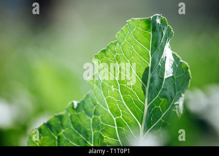 A large green leaf of salad with veins lit by sunlight. Close up shot with selective focus and beautiful natural bokeh. - Stock Photo