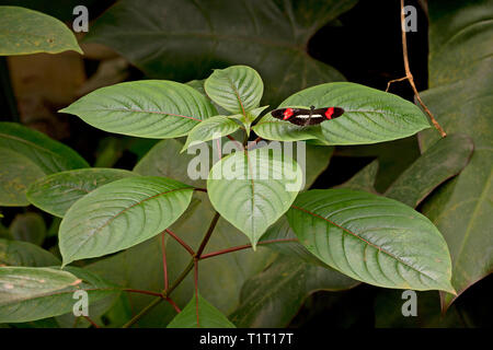 Red postman, red passion flower butterfly (Heliconius erato) on a leaf, Costa Rica - Stock Photo