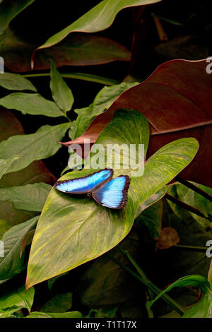 Blue Morpho or Morpho butterfly (Morpho peleides) largest butterfly found in primary forest, Costa Rica - Stock Photo