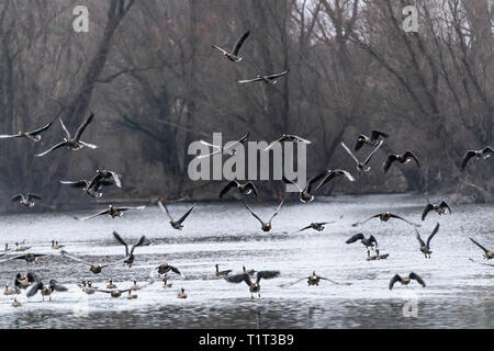 The nature reserve Bislicher Insel, near Xanten on the Lower Rhine, long-tailed geese, Anser albifrons, Germany - Stock Photo