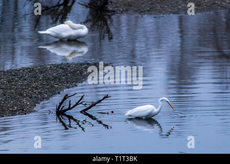 The Bislicher Insel nature reserve, near Xanten on the Lower Rhine, Great Egret, Casmerodius albus, Germany - Stock Photo