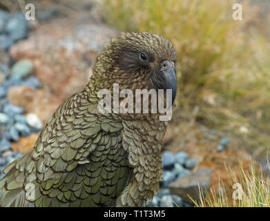 Wild Kea Parrot in the mountains of New Zealand - Stock Photo