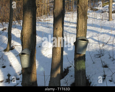 Maple trees being tapped are there sap in the early spring in rural Vermont, USA - Stock Photo