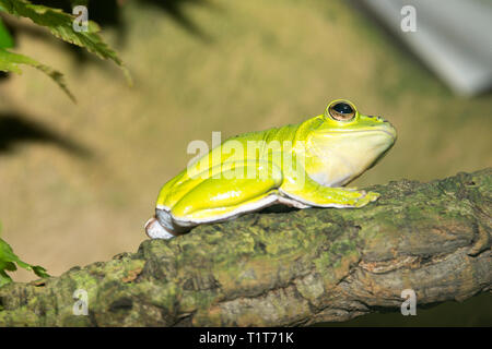 Chinese Gliding Frog (Rhacophorus dennysi) - Stock Photo