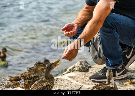 Person with food in hand feeding ducks - Stock Photo
