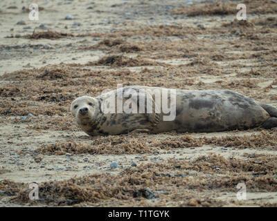 A single grey seal Halichoerus grypus lying amongst seaweed on the Norfolk coast - Stock Photo