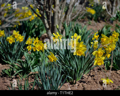 Daffodils, yellow narcissus  in the garden, Narcissus pseudonarcissus - Stock Photo