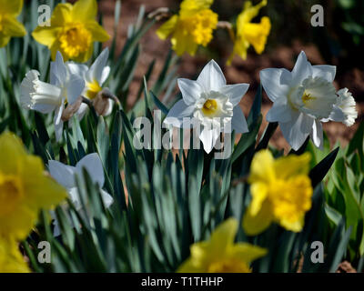 Yellow and white daffodils in the garden - Stock Photo