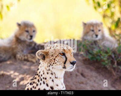 Cheetah with her cubs in the background keeping guard - Stock Photo