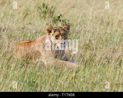 Wild Lioness lying down in the grass at the savanna and looking at camera - Stock Photo