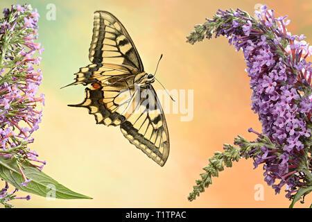Schwalbenschwanz (Papilio machaon) - Stock Photo
