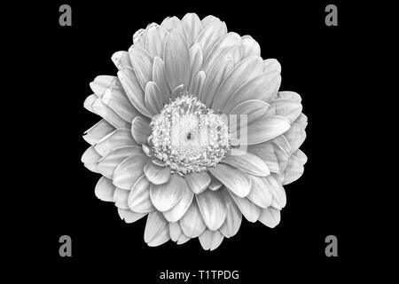 Floral fine art still life detailed pastel color macro of a single isolated red yellow wide opened gerbera blossom with detailed texture, top view, - Stock Photo