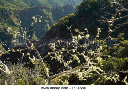 Beard lichen growing on gnarled tree, Na Pali-kona Forest Reserve, Kauai, Hawaii, USA - Stock Photo