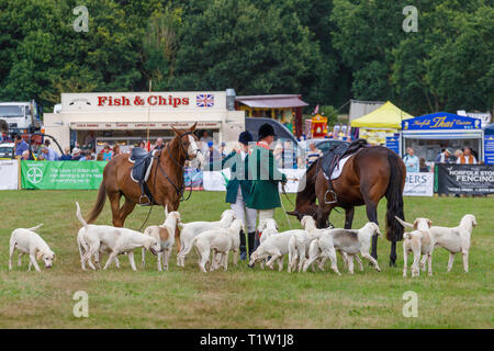 A demonstration by the North Norfolk Harriers at the 2018 Aylsham Agricultural Show, Norfolk, UK. - Stock Photo
