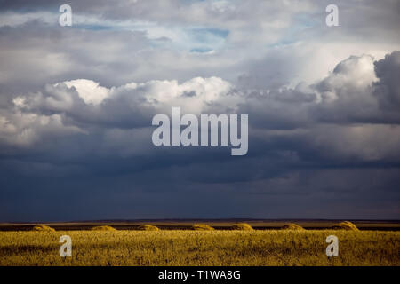 A field with mown wheat and stacks against the backdrop of a stormy sky. Harvest time. Kazakhstan - Stock Photo