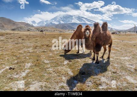Two camels grazing in front of Mount Muztagh Ata (Karakorum Highway, Xinjiang, China) - Stock Photo