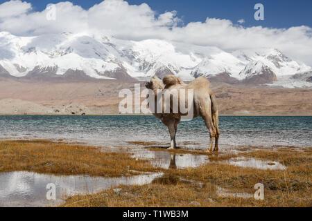 Camel looking at the beauty of Lake Karakul and Pamir Mountains (Karakorum Highway, Xinjiang Province, China) - Stock Photo