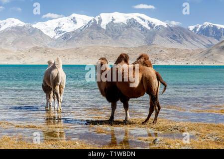 Two camels grazing and drinking water at Lake Karakul (Karakorum Highway, Xinjiang Province, China) - Stock Photo