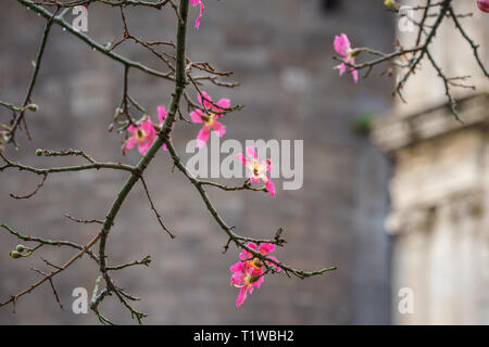 Silk floss tree or chorisia speciosa flowers in bloom with old walls as a background - Stock Photo
