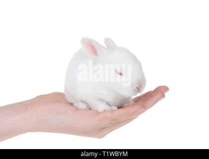 Young caucasian hand holding albino white baby bunny, tired, sleeping. Isolated on white. - Stock Photo