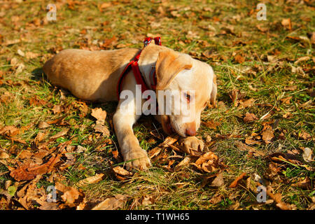 Cute young labrador puppy dog playing on the grass, chews on a stick. - Stock Photo