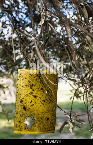 Yellow fly trap paper on Olive trees - Stock Photo