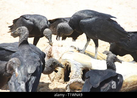 The black american vulture Coragyps atratus feeding on carrion on a beach - Stock Photo