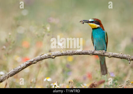 European Bee-eater (Merops apiaster), adult perched on branch with insect prey, Lleida Steppes, Catalonia, Spain - Stock Photo