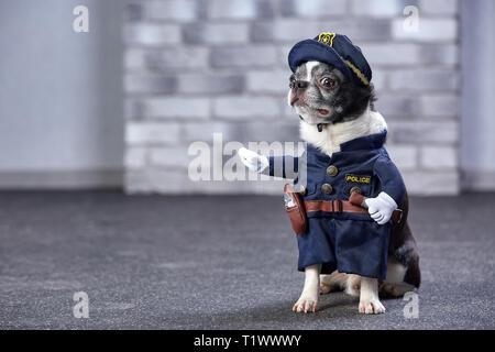 funny chihuahua in policeman costume. Studio shot - Stock Photo
