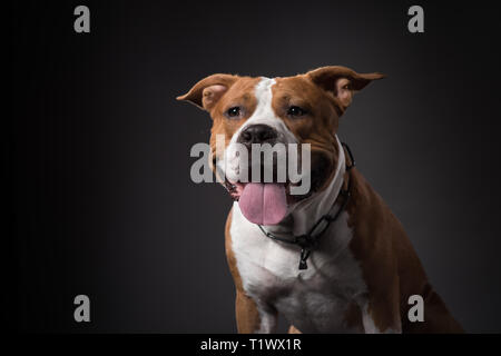 Young American Staffordshire terrier dog, portrait. Studio Shot - Stock Photo