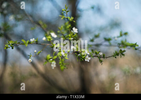 Spring tree flowers blossom - Stock Photo