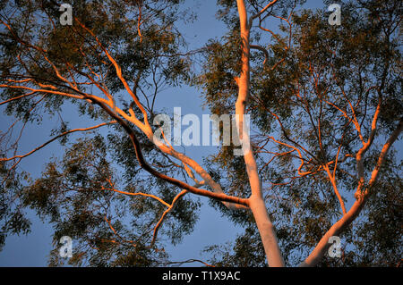 A view looking up at sunset reflecting of the white trunks of an Australian Ghost Gum tree, with blue sky in the background. - Stock Photo