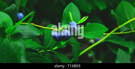 Organic and fresh blueberries on the branch of blueberry field farm. Real blueberries farm in harvest season and bunch of ripe fruits on bush. Raw and - Stock Photo