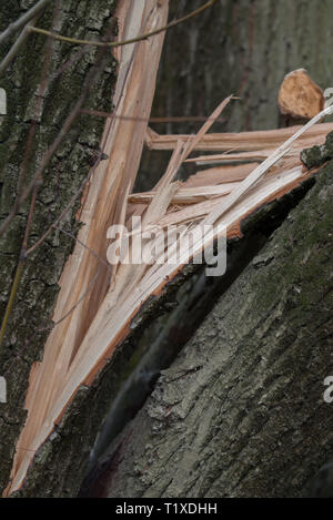 old broken willow tree trunk - Stock Photo