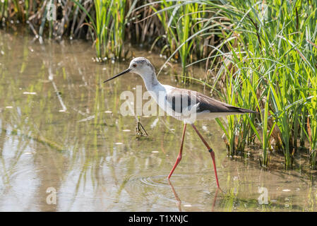 The black winged stilt walks in the water of an Italian lake, horizontal image of a black and white bird with orange legs immersed in a pond - Stock Photo