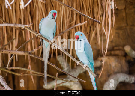 A blue color morph of the the rose-ringed parakeet (Psittacula krameri manillensis), also known as the ring-necked parakeet, is a medium-sized parrot - Stock Photo