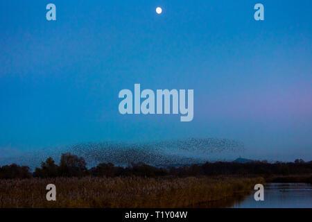 Spectacular murmuration of starlings display thousands of birds moonlight flight cloud pattern before roosting in marshland UK - Stock Photo