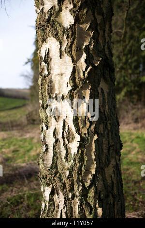 Trunk of Silver Birch tree, Betula pendula, UK - Stock Photo