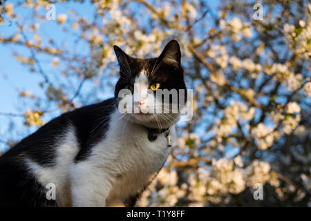 London, UK, 29th March 2019. Roly the cat basks in the sunshine at the dawn of an unseasonally warm day in the capital, with temperatures expected to reach 17 degrees. (c) Paul Swinney/Alamy Live News - Stock Photo