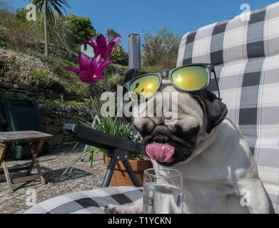 Mousehole, Cornwall, UK. 29th Mar, 2019. UK Weather. Titan the pug pup, out in his back garden making the most of the sunshine whilst it lasts. Credit: Simon Maycock/Alamy Live News - Stock Photo