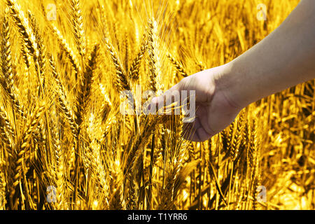 Picture of green wheat fields for baisakhi festival. - Stock Photo